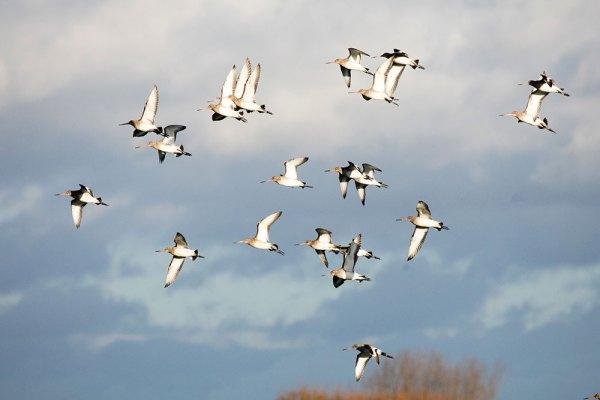 Godwits in flight (1)