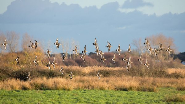 Godwits in flight (2)