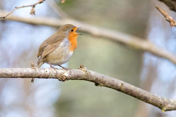 Robin in profile singing
