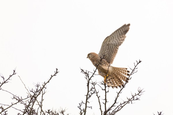 Kestral taking off