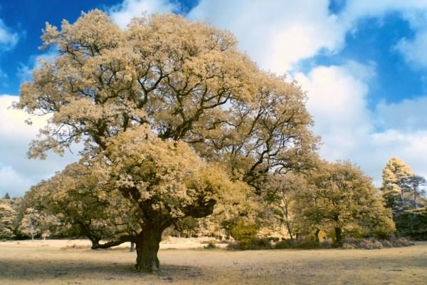 The Olde Oak Tree
