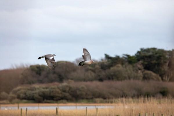 Wood Pigeons in Flight