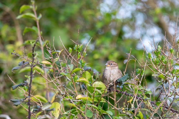 Sparrow in the Greenery