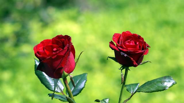 2-bunga-mawar-merah