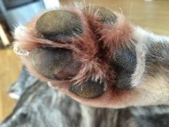 atopic dermatitis paw