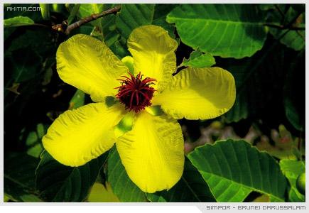 Simpor - Brunei Darussalam, Dillenia ดอกไม้ประจำชาติ บรูไน