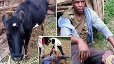 Photo of في كينيا .. رجل يفضل اغتصاب البقر على العلاقة مع النساء !