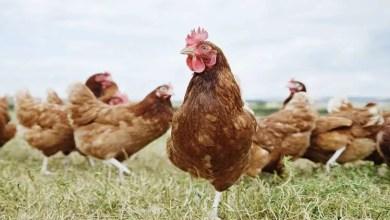 """Photo of العلماء يؤكدون أننا نعيش """" عصر الدجاج """" !"""