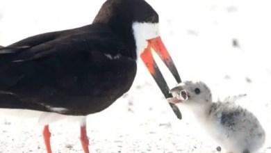 """صورة طائر في شواطئ فلوريدا يقدم الـ """" سجائر """" لصغاره !"""