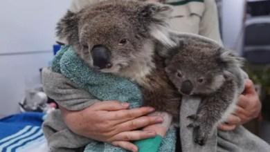 صورة العثور على عشرات دبب الكوالا ميتة في مزرعة لإنتاج الأخشاب في أستراليا