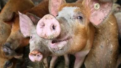 Photo of باحثون صينيون : فيروس جديد في الخنازير يمكن أن يتحول إلى جائحة