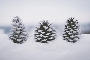 close-up-cold-conifer-1647248