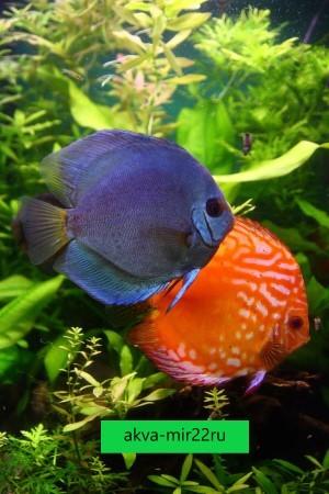 Пара дискусов синего и оранжевого цветов на фоне аквариумных растений.