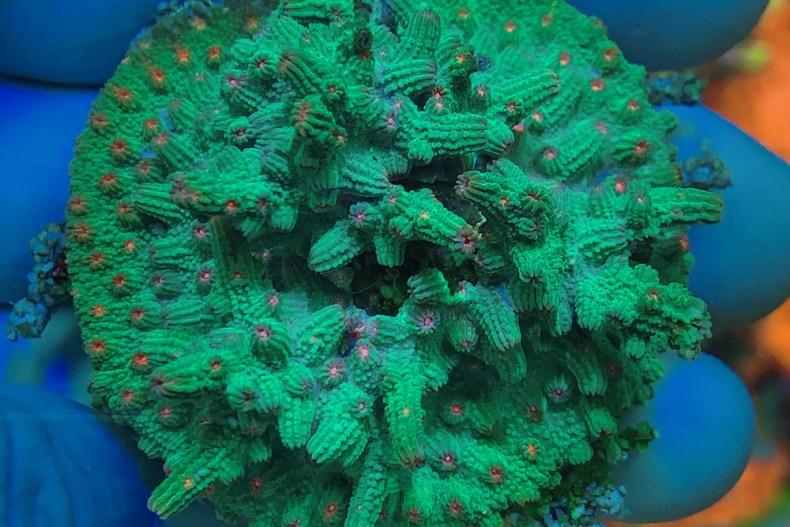 Green Branch Cyphastrea