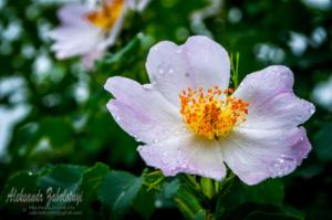 фотографіі квітів, квітка шипшини