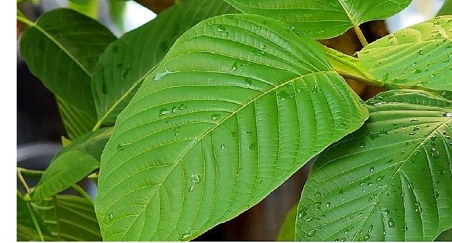 من يستخدم Herbal Kratom؟