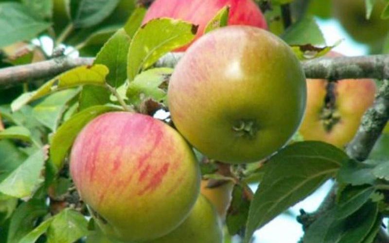 الاماراتيون يستثمرون  156 مليون درهم  في اضخم مشروع لانتاج التفاح والورود بالمغرب