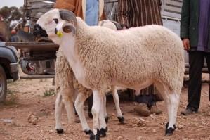 وزارة الفلاحة:القطيع بصحة جيدة والعرض المقدر بـ8 ملايين رأس من الأغنام يفوق الطلب