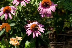 Auburn's Medicinal Plant Garden (Nik Layman/Alabama NewsCenter)