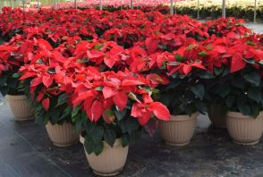 Poinsettias are poisonous to pets if eaten, so take care where you place them. (Donna Cope/Alabama NewsCenter)