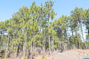 The longleaf pine was once plentiful in our region, but foresters are hopeful efforts like prescribed burns will restore. (Phil Free/Alabama NewsCenter)