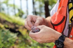 The Alabama Department of Conservation and Natural Resources and the U.S. Fish & Wildlife Service are working with Alabama Power on Lake Mitchell to band and monitor the red-cockaded woodpecker population to boost its numbers. (Justin Averette / Alabama NewsCenter)