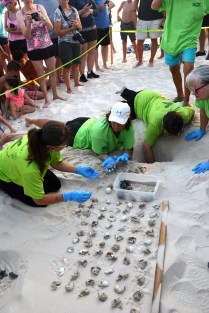 Share the Beach volunteers pull baby turtles and eggshells from a sea turtle nest. (Karim Shamsi-Basha/Alabama NewsCenter)