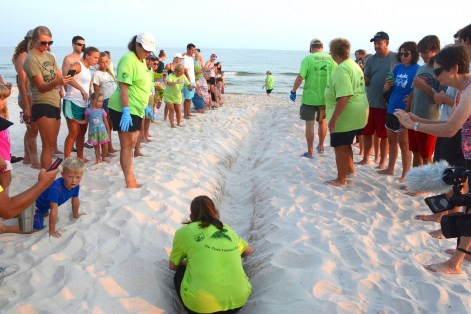 Share the Beach volunteers make a path to guide baby turtles to the surf. (Karim Shamsi-Basha/Alabama NewsCenter)