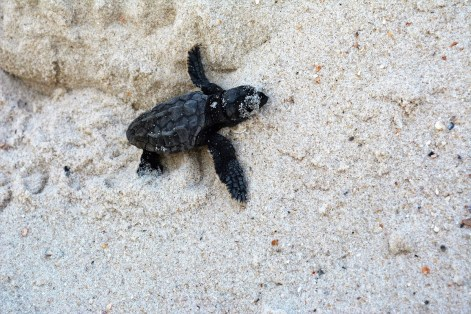 A baby sea turtle makes its way toward the water. (Karim Shamsi-Basha/Alabama NewsCenter)