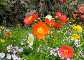 Poppies brighten a garden. (Contributed)