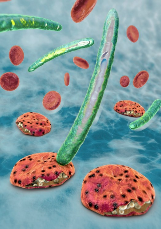 Plasmodium parasites cause malaria in blood cells. (Getty Images)