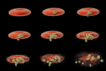 A computer illustration shows different stages of release of malaria merozoites from a red blood cell. Malaria is caused by plasmodium parasitic protozoans transmitted by female Anopheles mosquitoes. (Getty Images)