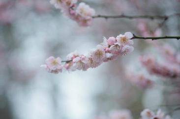 Japanese apricot at Forman Garden at Birmingham Botanical Gardens. (Birmingham Botanical Gardens)