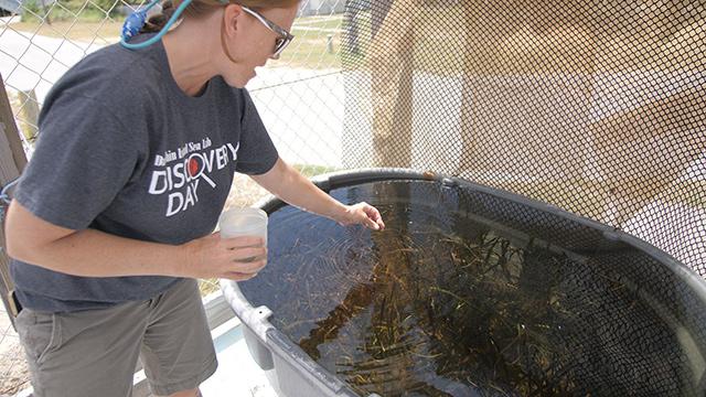 Dauphin Island Sea Lab restoring aquatic grass along Alabama coast