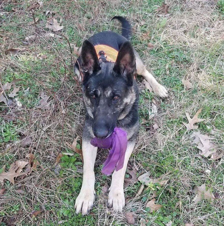 Speegle trained Küsse using a kong wubba. The German Shepherd is one of three semifinalists for the American Humane Search and Rescue Hero Dog prize. (Corey Speegle)
