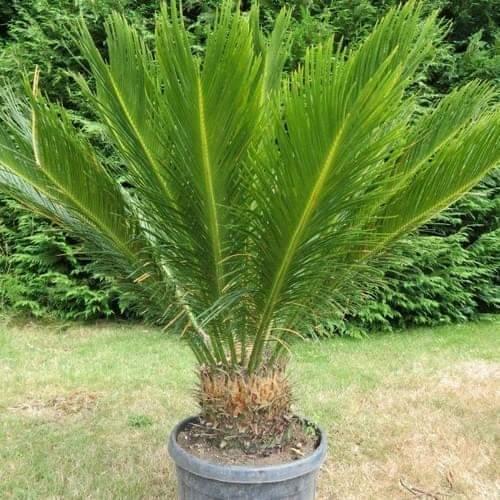 نبات سيكاس