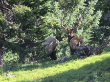 Elk near Mt. Ida