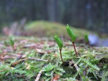 Grön-sköldmossa