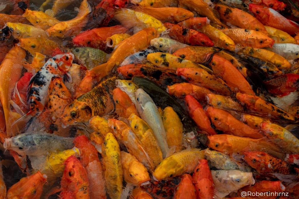 Colorido estanque repleto de peces koi.