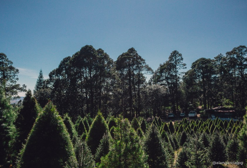 Bosque de árboles navideños en Acopinalco del Peñón, Tlaxco, Tlaxcala.