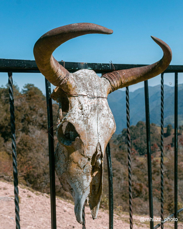 Cráneo de vaca amarrado a un enrejado negro.