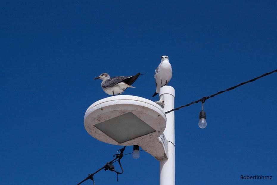 Dos pequeñas gaviotas en una lámpara en Mérida, Yucatán.