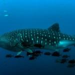 Se debe o no nadar con el Tiburón Ballena