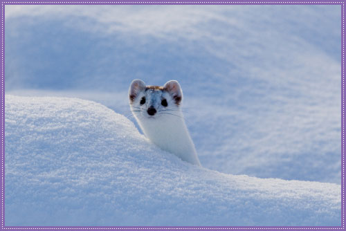 Image result for ermine animal