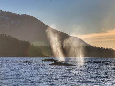 Whales Surfacing in Southeast Alaska