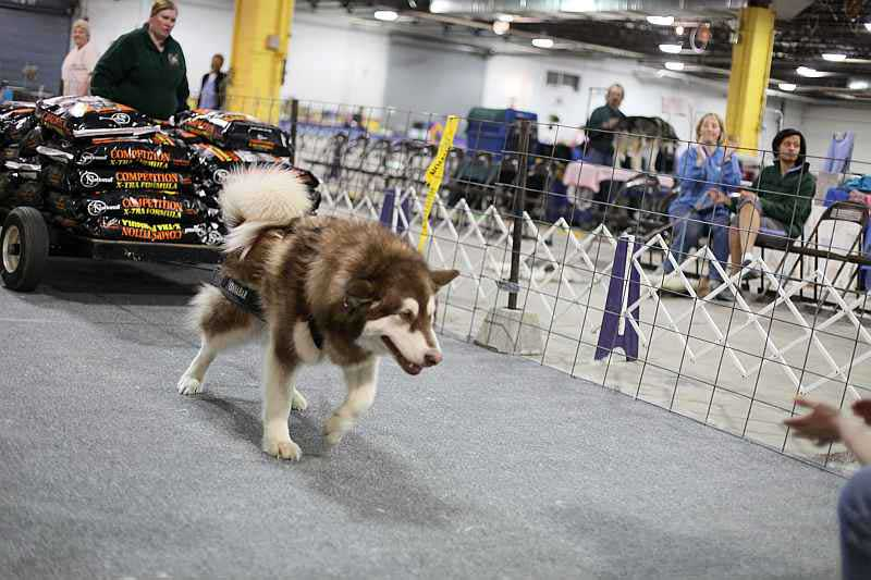 Dog Trainer Courses Uk Alaskan Malamute Weight