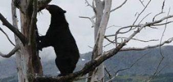 Bear Climbing Tree in Alaska