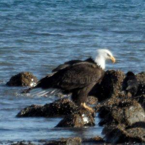 Eagle at Resurrection Bay