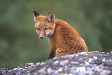 https://i1.wp.com/www.alaskaphotography.com/photos/wildlife/images/denali_red_fox_pope.jpg