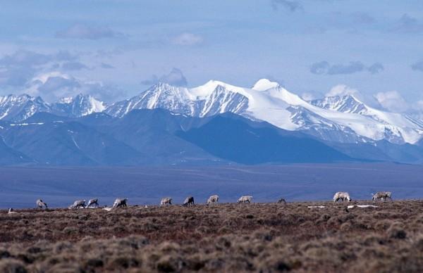 Caribou graze on the coastal plain of the Arctic National Wildlife Refuge, with the Brooks Range as a backdrop. (USFWS)